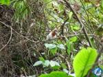 Picogordo degollado (Pheucticus ludovicianus/Rose-breasted Grosbeak)