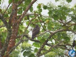 Aguilucho negro (Buteo Platypterus/Zone-tailed Hawk)