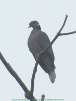 Band-tailed Pigeon (Patagioenas fasciata) Ropero Aventuras