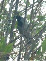 Black-faced Tanager (Schistochlamys melanopis) Ropero Aventuras