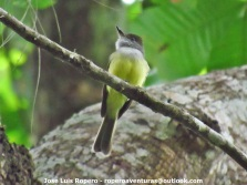 Black-headed Tody-Flycatcher (Todirostrum nigriceps) Ropero Aventuras 2