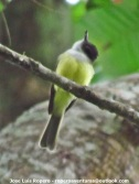 Black-headed Tody-Flycatcher (Todirostrum nigriceps) Ropero Aventuras