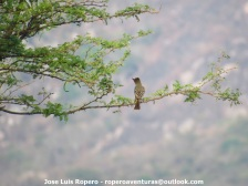 Brown-crested Flycatcher (Myiarchus tyrannulus) Ropero Aventuras
