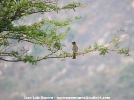 Brown-crested Flycatcher (Myiarchus tyrannulus) Ropero Aventuras