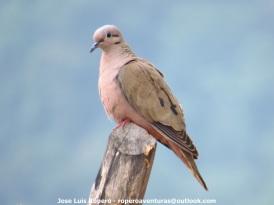 Eared Dove (Zenaida auriculata) Ropero Aventuras
