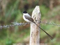 Fork-tailed Flycatcher (Tyrannus savanna) Ropero Aventuras