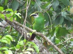 Southern Emerald-Toucanet (Aulacorhynchus albivitta). Jose Luis Ropero.