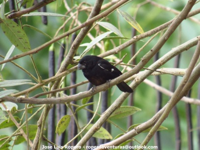Thick-billed Seed-Finch (Sporophila funerea) Ropero Aventuras