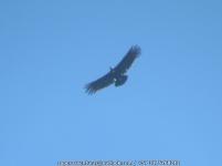 Andean Condor Vultur Gryphus IMG_6326