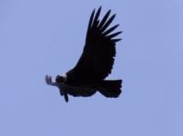 Andean Condor Vultur Gryphus IMG_6418
