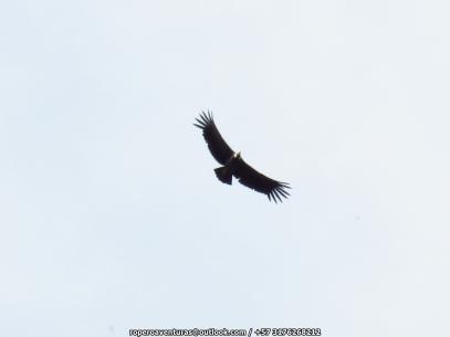 Andean Condor Vultur Gryphus IMG_6420