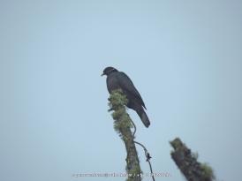 Band-tailed Pigeon Patagioenas fasciata IMG_6344