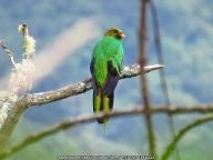 Golden-headed Quetzal Pharomacrus auriceps IMG_6356