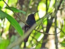 Lazuline Sabrewing Campylopterus falcatus IMG_6447