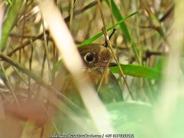 Rufous Antpitta (Perijá) / G. rufula saltuensis. Jose Luis Ropero.