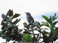 Perija Thistletail Asthenes perijana IMG_6575