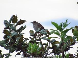 Perija Thistletail Asthenes perijana IMG_6576