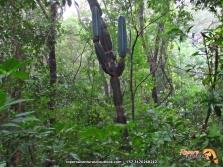 Cacto o cardón (Cereus hexagonus).