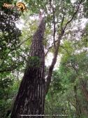 Guayacán amarillo (Bulnesia arborea).