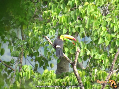 Tucán arcoiris (Ramphastos sulphuratos).