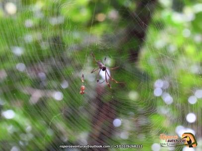 Araña seda de oro (Nephila clavipes).