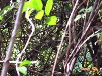 Golden-winged Sparrow (Arremon schlegeli), difícil de fotografiar.