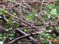 Golden-winged Sparrow (Arremon schlegeli), en el centro de la imagen hacia el interior de los arbustos.