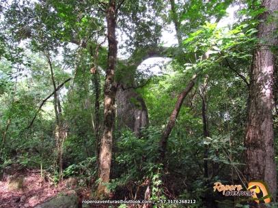 Ceiba bonga (Ceiba petandra).