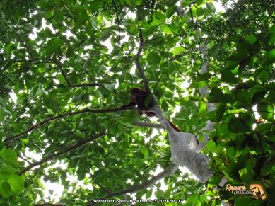 Mono aullador (alouatta seniculus).