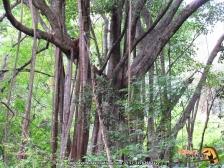 Abraza palo (Ficus dendrocida).