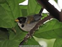 Golden-winged Sparrow (Arremon schlegeli).