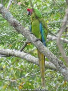 Military Macaw (Ara militaris).