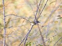 Pearly-vented tody-tyrant en el bosque seco