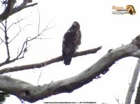 Black-chested Buzzard Eagle (Geranoaetus melanoleucus), inmaduro.