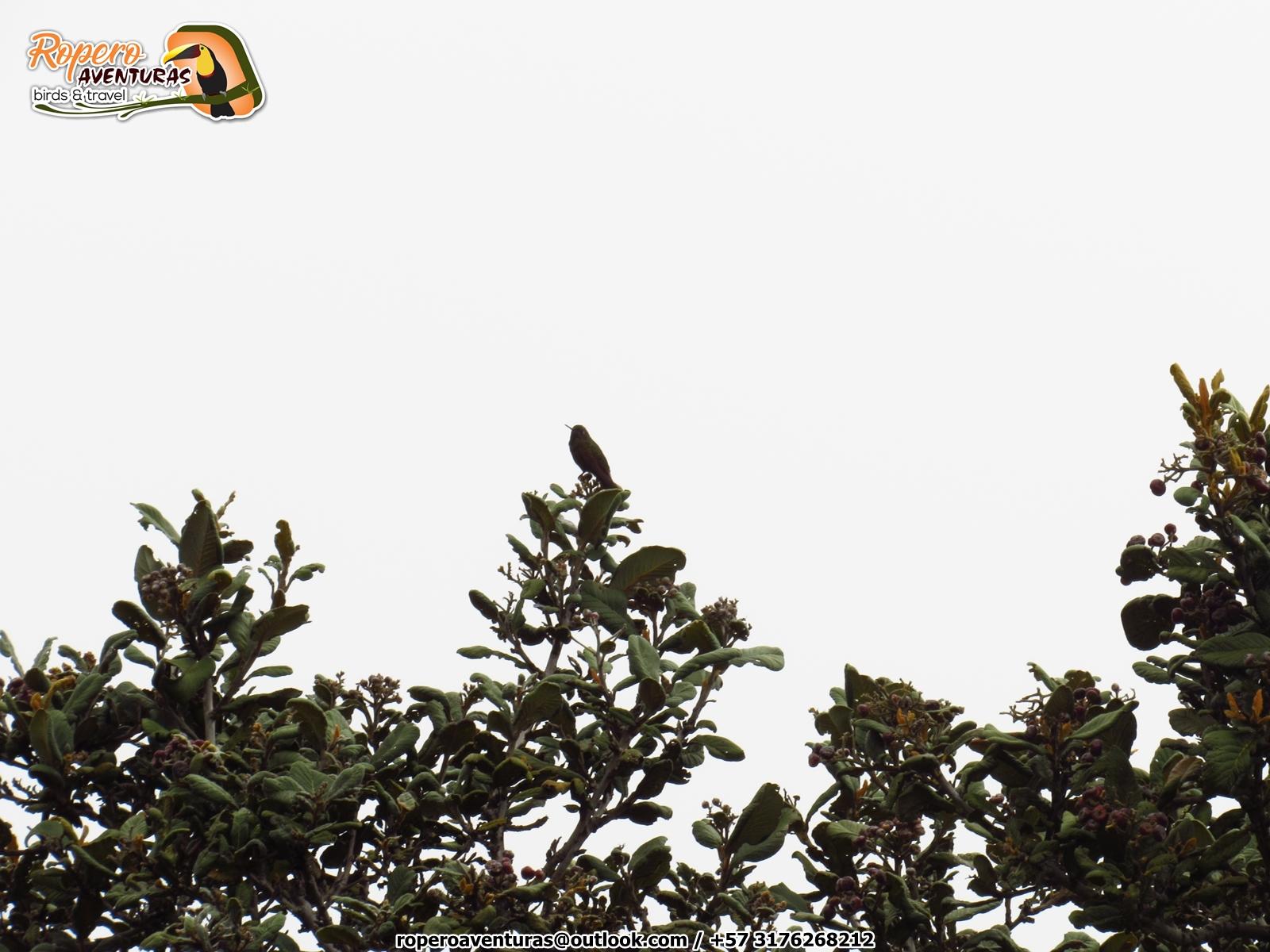 Perija metaltail