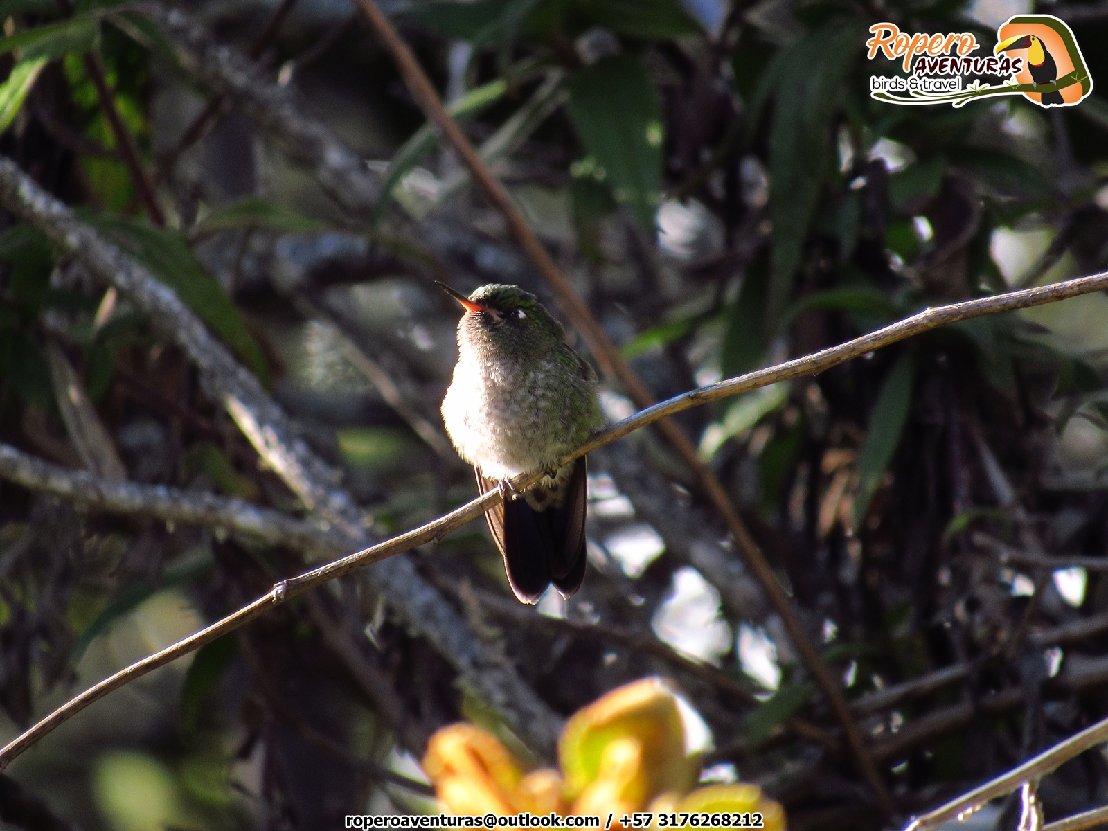 Tyrian Metaltail