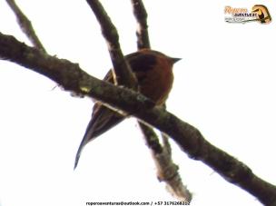 Cinnamon Flycatcher (Pyrrhomyias cinammomeus).