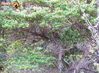 Perijá Thistletail (Asthenes perijana), el chamicero del Perijá.