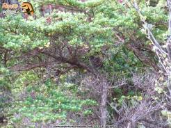 Perija Thistletail in Sabana Rubia