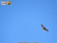 Red-tailde hawk in colombia