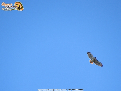 Red-tailed Hawk (Buteo jamaicensis), migrante boreal, raro registro para Colombia. ¡Lifer mother... nature!