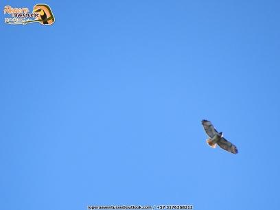 Red-tailed Hawk (Buteo jamaicensis), migrante boreal, raro registro para Colombia. ¡Lifer mother... nature!