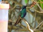 Sparkling Violetear (Colibri coruscans).
