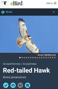Red-tailed Hawk 2 20181225.png