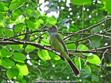 Venezuelan Flycatcher (Myiarchus venezuelensis).