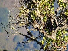 El Andean Pygmy-Owl (Glaucidium jardinii), en el Páramo de Sabana Rubia, Reserva de Proaves Chamiceró del Perijá. Foto: Jose Luis Ropero.