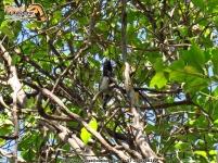 black-backed antshrike aves ecoparque los besotes