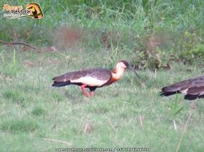 ibis a orillas de la cienaga zapatosa