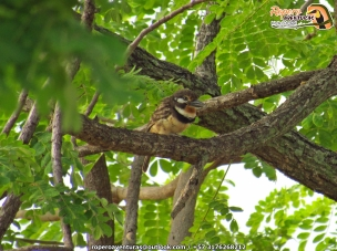 buff-throated puffbird (hypnelus ruficollis) ropero