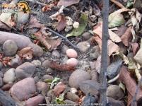 common pauraque nest (nyctidromus albicollis nido) ropero 2